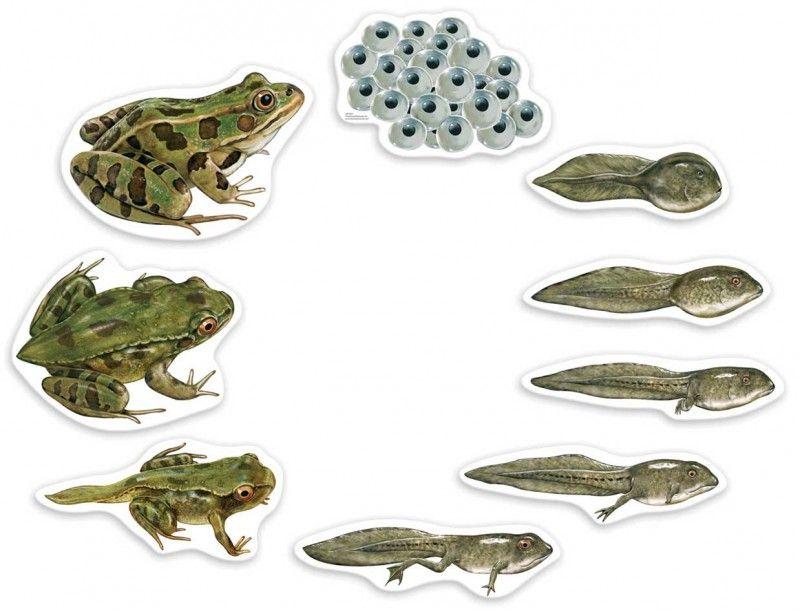 Image result for entwicklung frosch   Ếch   Pinterest   Montessori ...