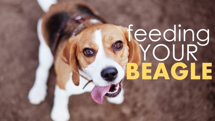 Best Dog Food For Beagles Best Dog Food Beagle Top Rated Dog Food