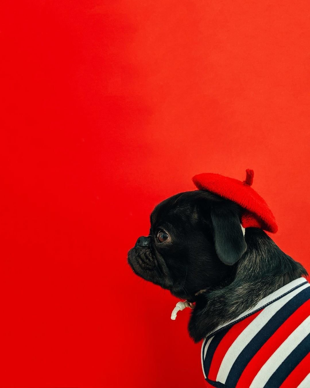 Pug In Red Hat Cute Pugs Black Pug Puppies