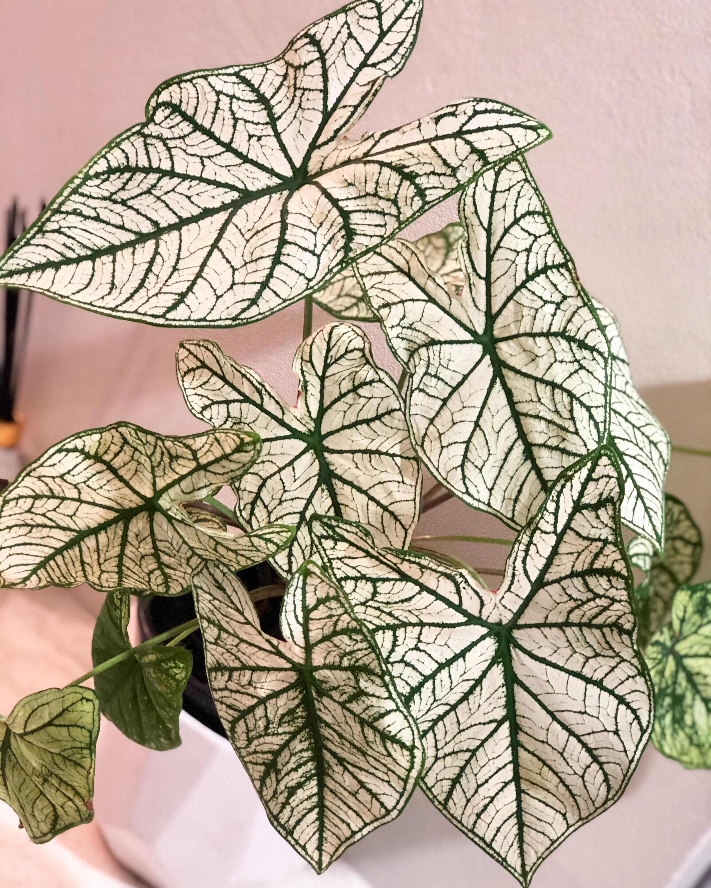 caladium white christmas Google Search in 2020