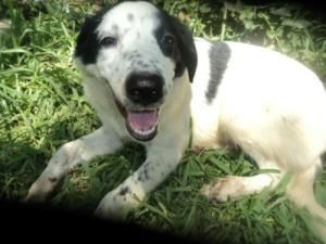 Master is an adoptable Border Collie Dog in Henrietta, TX. Master is one of 4 border collie mix pups abandoned in Vashti, TX. His rescuer tells his story below: We spotted the pups whenever we were mo...