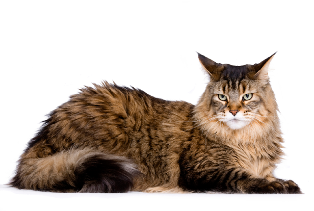 Facts about Main Coon Cats Mačiatka d75d92f7dc4