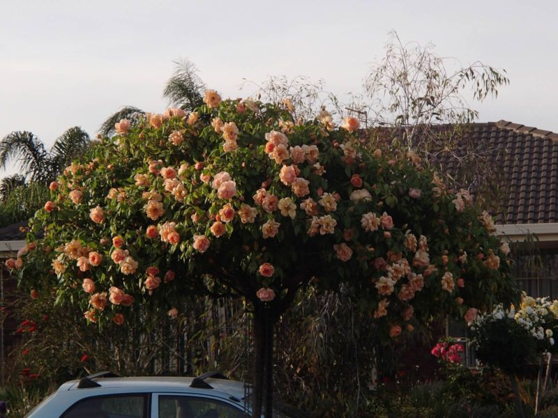 Weeping Standard Roses Other Garden Gumtree Australia Playford Area Hillbank 1080589363 Standard Roses Gumtree Australia Garden