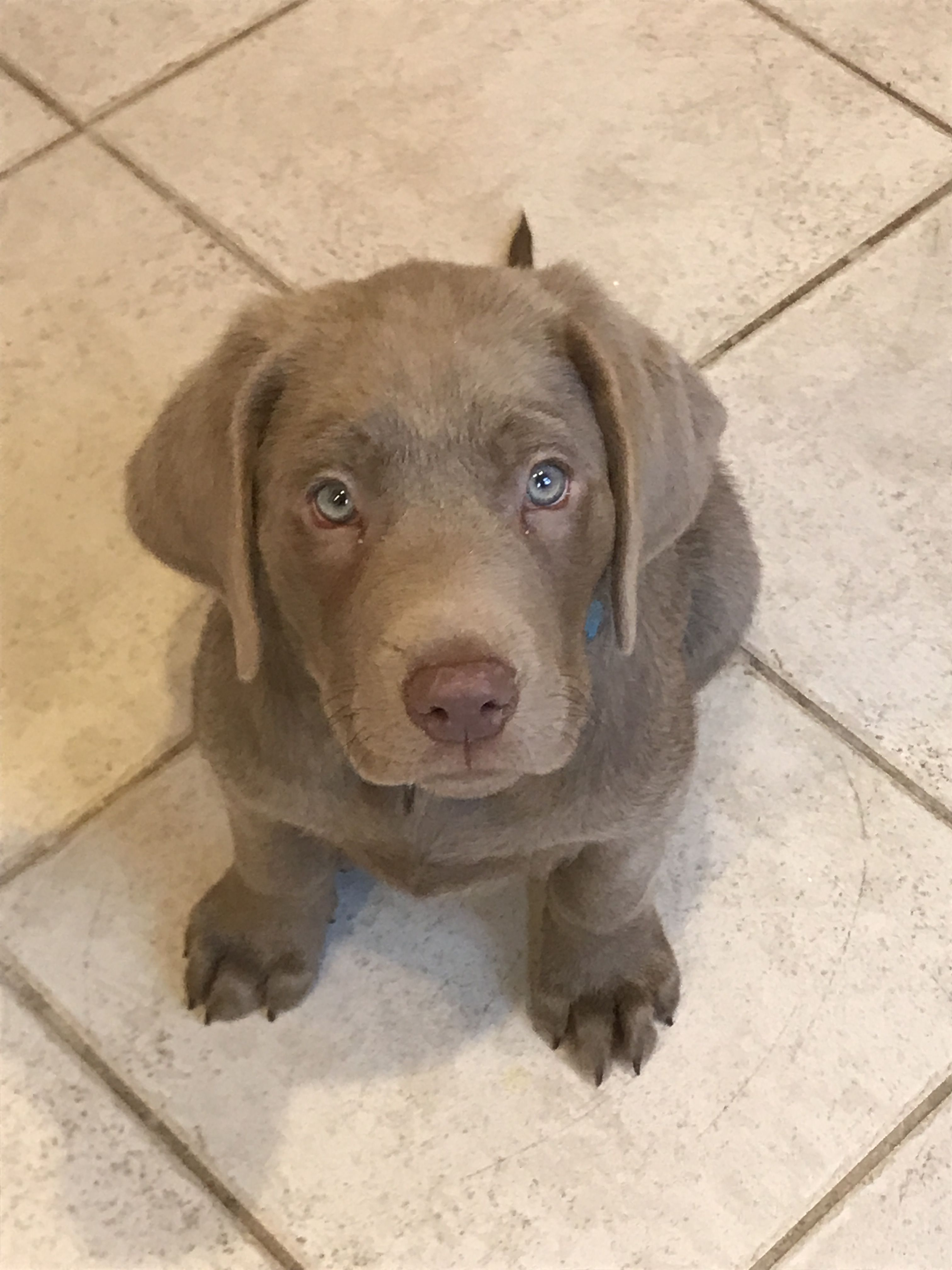 Silver lab puppies for sale in california