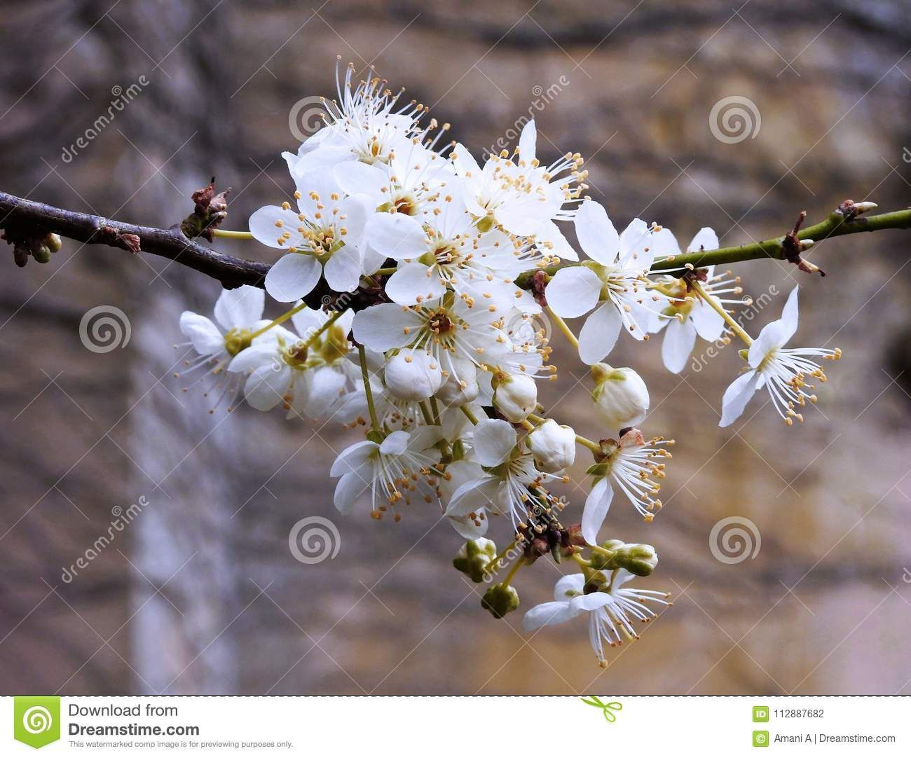 Photo About A Cluster Of White Blossoms On A Plum Tree In Spring In The Uk Image Of White Blossoms Beauty 112887682 Plum Blossom Blossom Plum Tree