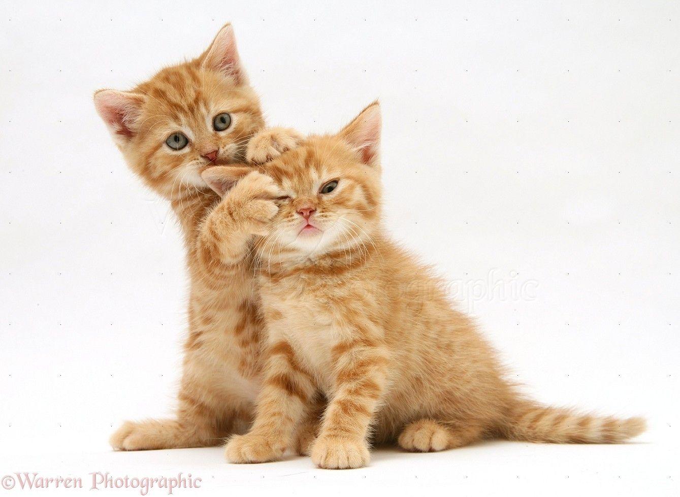 The Ultimate CAT CARE Guide British shorthair, Tuxedo