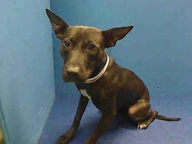 My name is LAILA. My Animal ID # is A0964115 & I am scheduled to die at the Brooklyn NY kill shelter. Pleaseeee...save me....