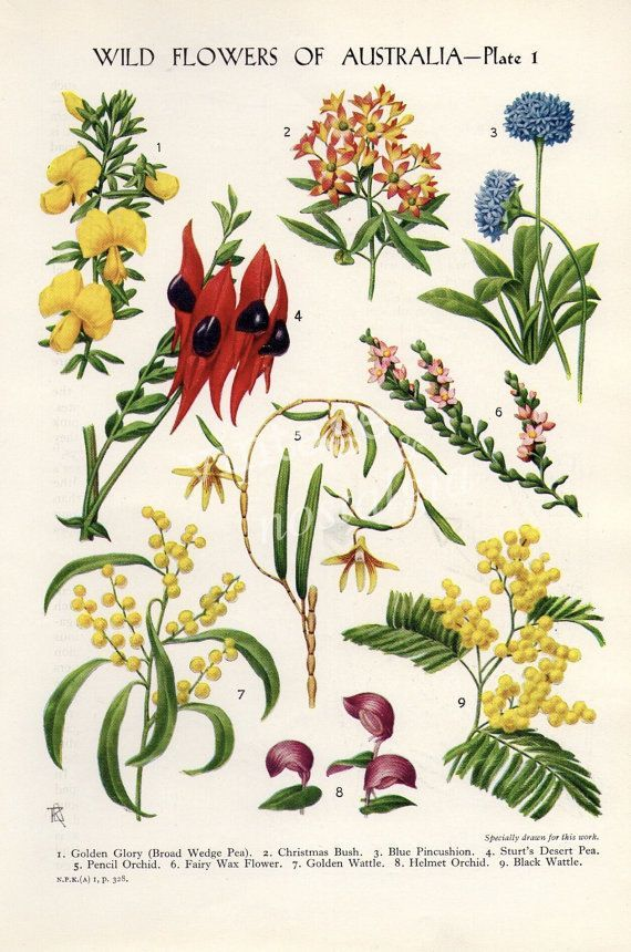Vintage Botanical Flower Print Australian Par Thestoryofvintage Flowers Botanical Flowers Print Australian Flowers Botanical Drawings