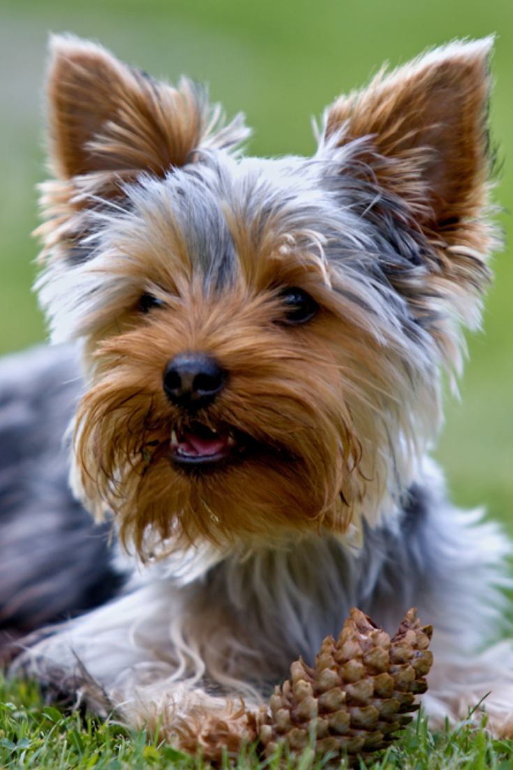 Yorkshire Terrier And Cone Yorkshireterrier Yorkshire Terrier Yorkshire Terrier Puppies Terrier