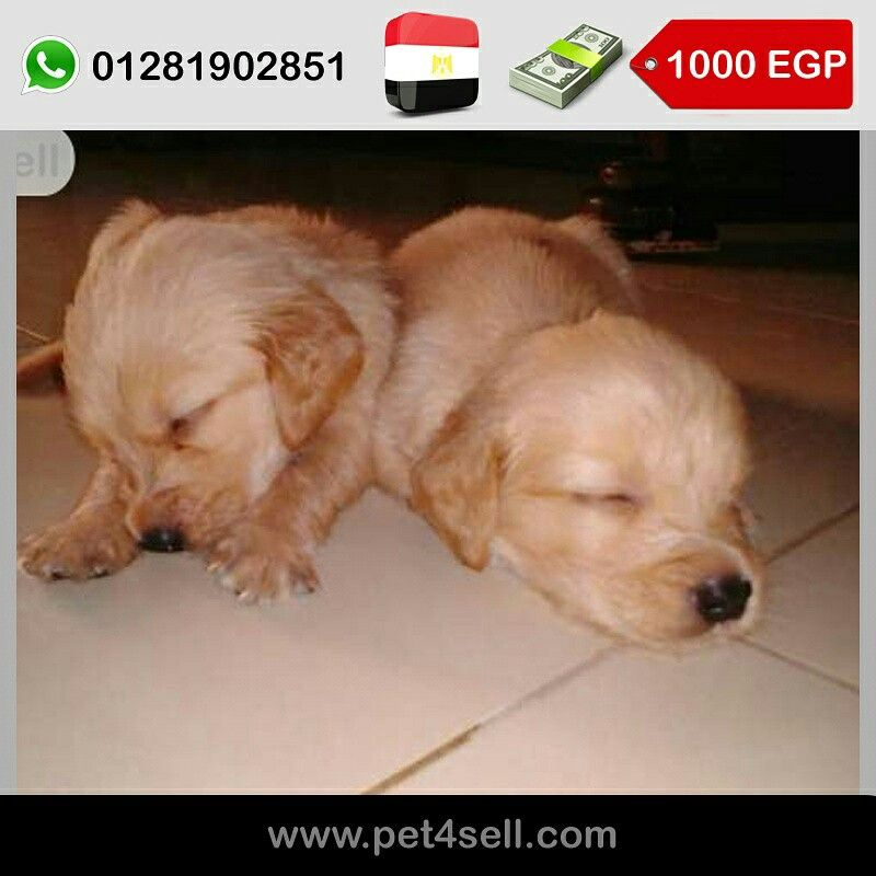 Egypt Cairo Golden Retriver Puppies For Sale 40 Days Females Only