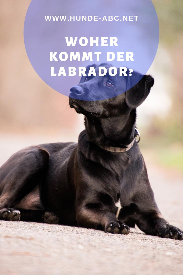 Woher Kommt Der Labrador Hunde Rassen Hunde Hunderassen