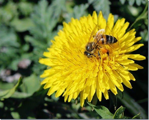 14/52 - Radiate bee on Dandelion