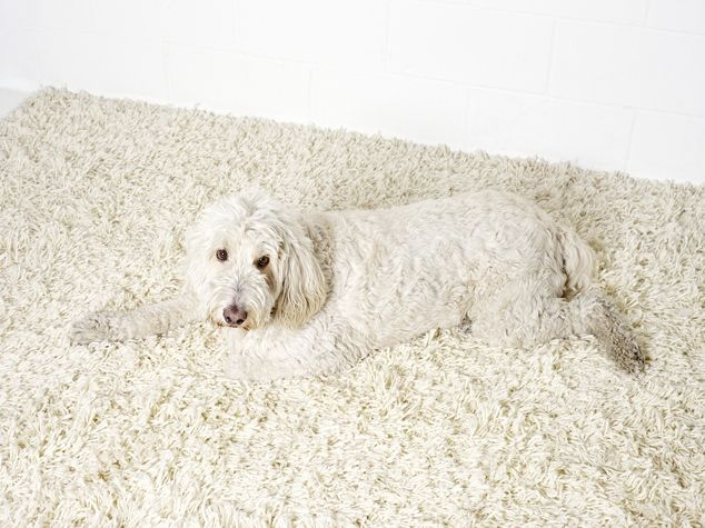 White Dog Disears Into A Rug Puppies Dogs