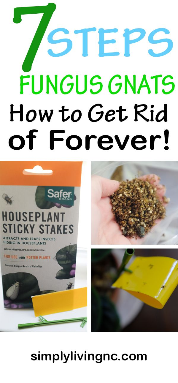 Fungus Gnats How to Get Rid of Pilea Houseplant Pests ...