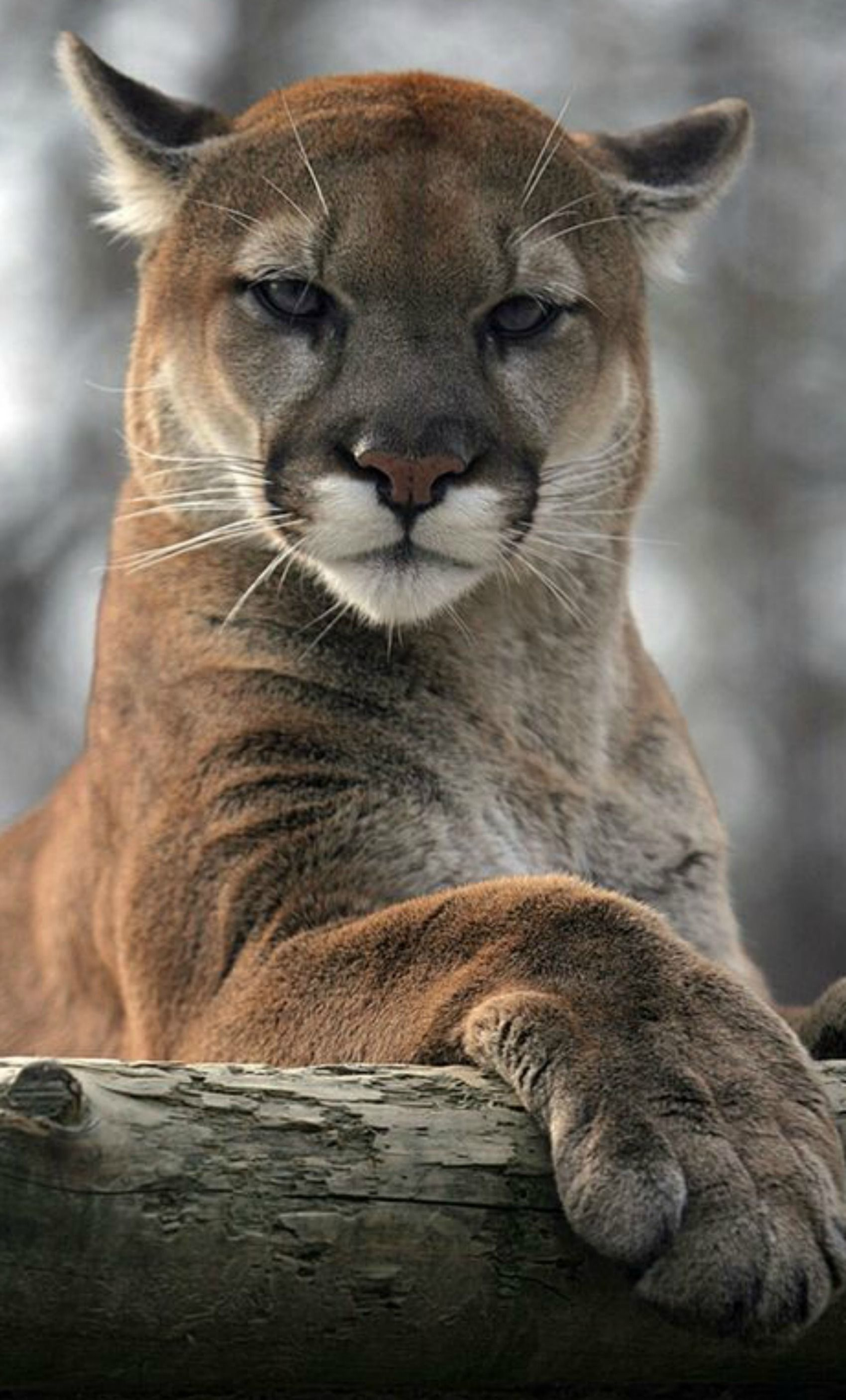 8be66ce52ed Mountain lion