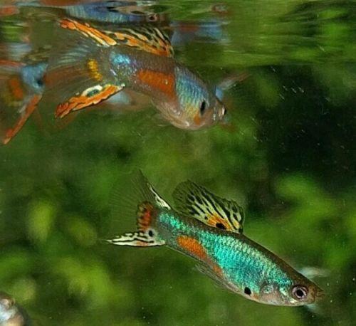 Lazuli Double Sword Guppies Guppy Guppy Fish Fresh Water Fish Tank