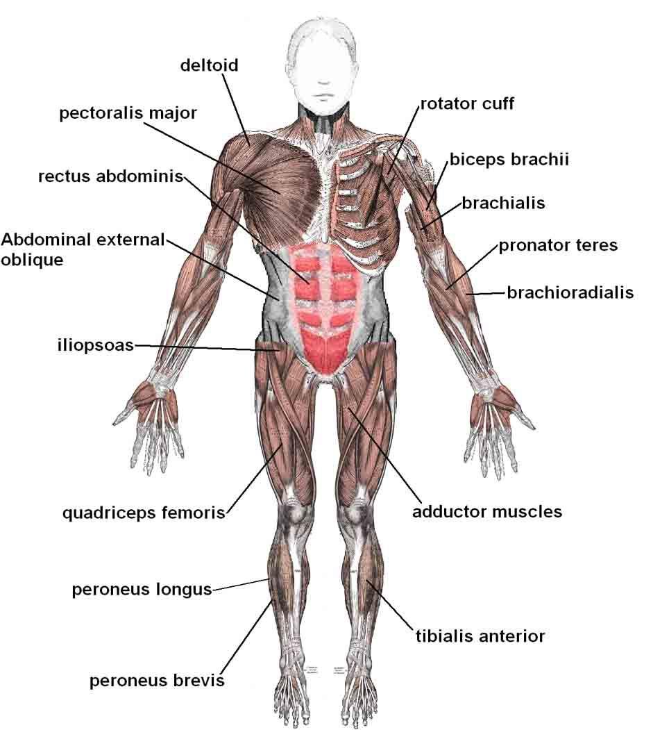 El Sistema Osteo Artro Muscular Soam Es El Principal Encargado De Permitir Todos Los Mov Ejercicios Para Abdomen Sistema Muscular Humano Musculos Del Abdomen