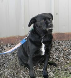 Annie is an adoptable Pug Dog in Zanesville, OH. Annie came to our rescue from a kill shelter. We were contacted when her time was up. We took Annie and found her to be a sweet, loving girl. She is...