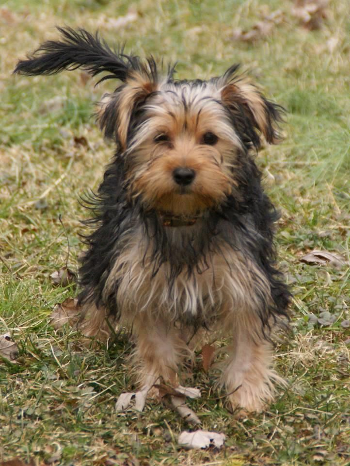 Adopt Ginger Grant on Yorkie dogs, Yorkshire terrier, Dogs