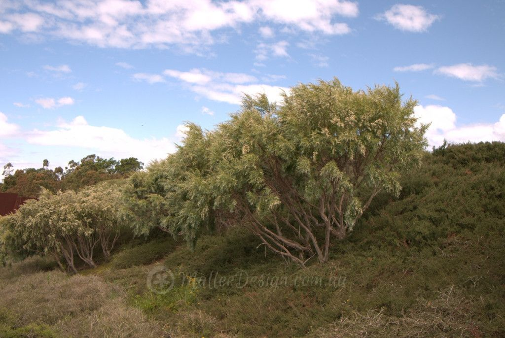 silver tea tree  leptospermum brachyandrum  u0026 39 silver u0026 39