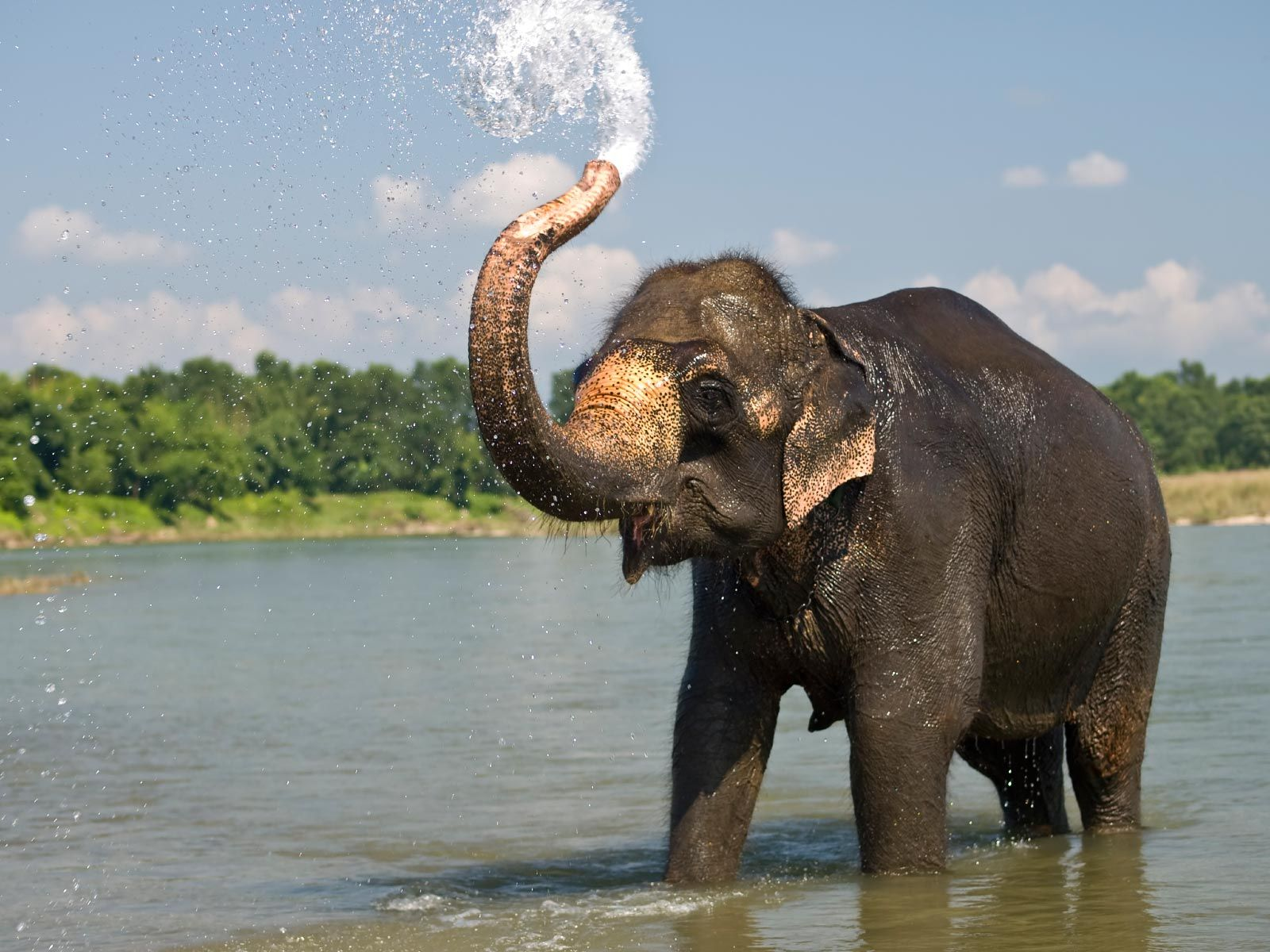 The Most Characteristic Feature Of Elephants Is Their Elongated Trunk Or Proboscis Which Is A Fusion Of Nose And Uppe Elephant Indian Elephant Animal Facts
