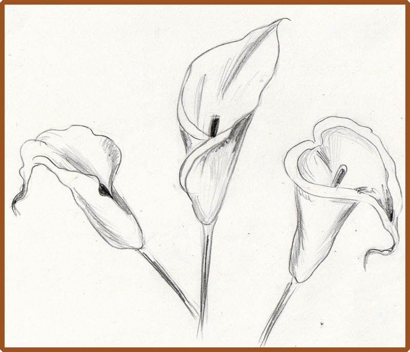 calla lilies drawing Google Search Lilies drawing
