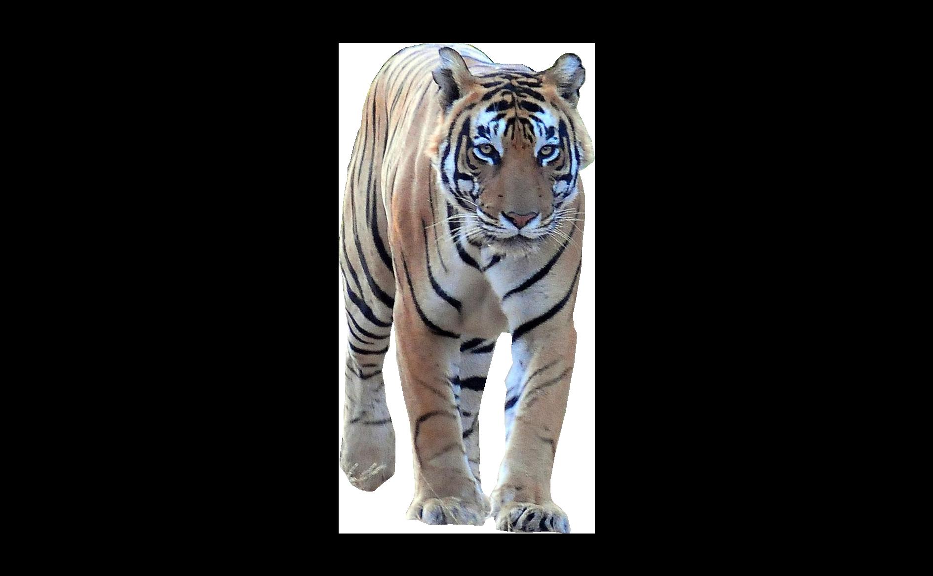Tiger Walking Frontal Png Image Tiger Walking Animals Tiger