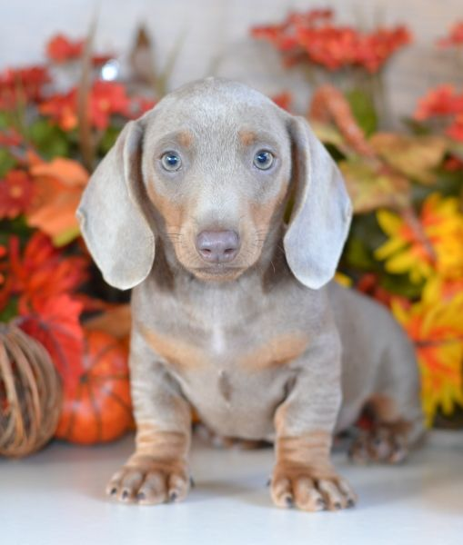 Miniature | Blue | Dachshund Puppies For Sale | (6