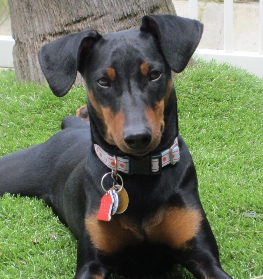 German Pinscher Dog Breed Information Deutscher Pinscher Hunde Und Tiere