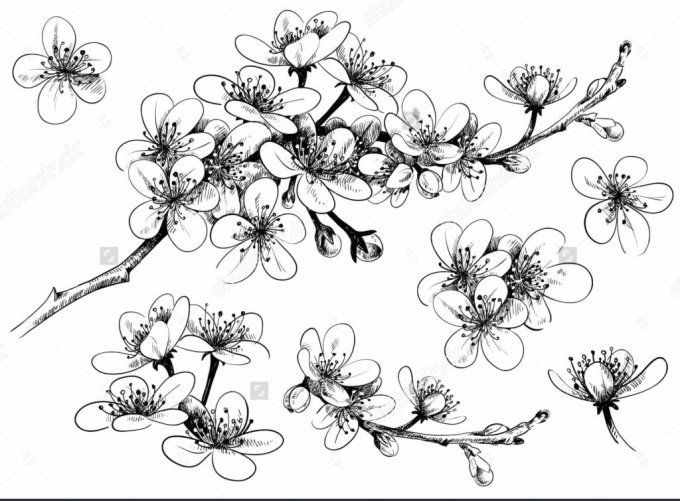 Mewarnai Gambar Bunga Tercantik 16 Contoh Gambar Sketsa Bunga Yang Mudah Digambar Hamparan 1000 Gam Apple Blossom Tattoos Flower Drawing Cherry Blossom Art