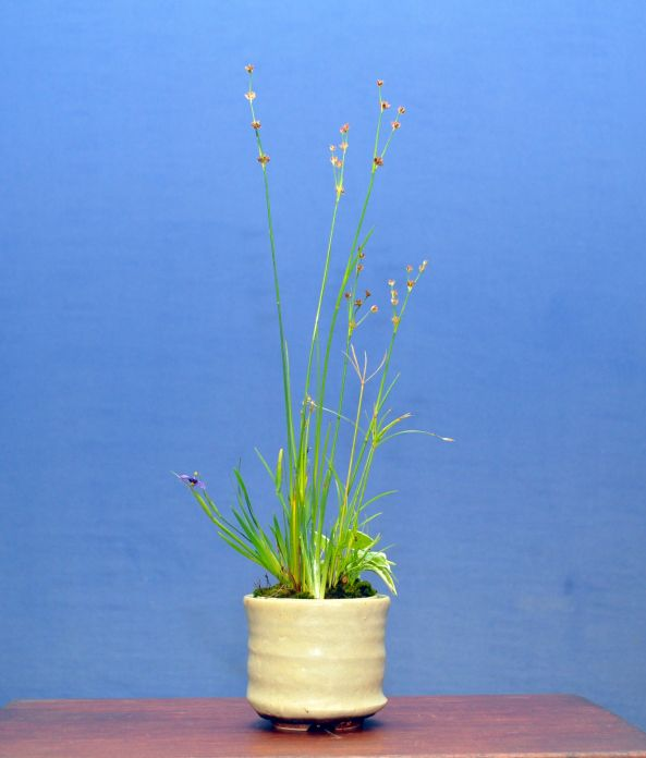 Kusamono – Juncus, Papyrus, Hosta,Sisyrinchium