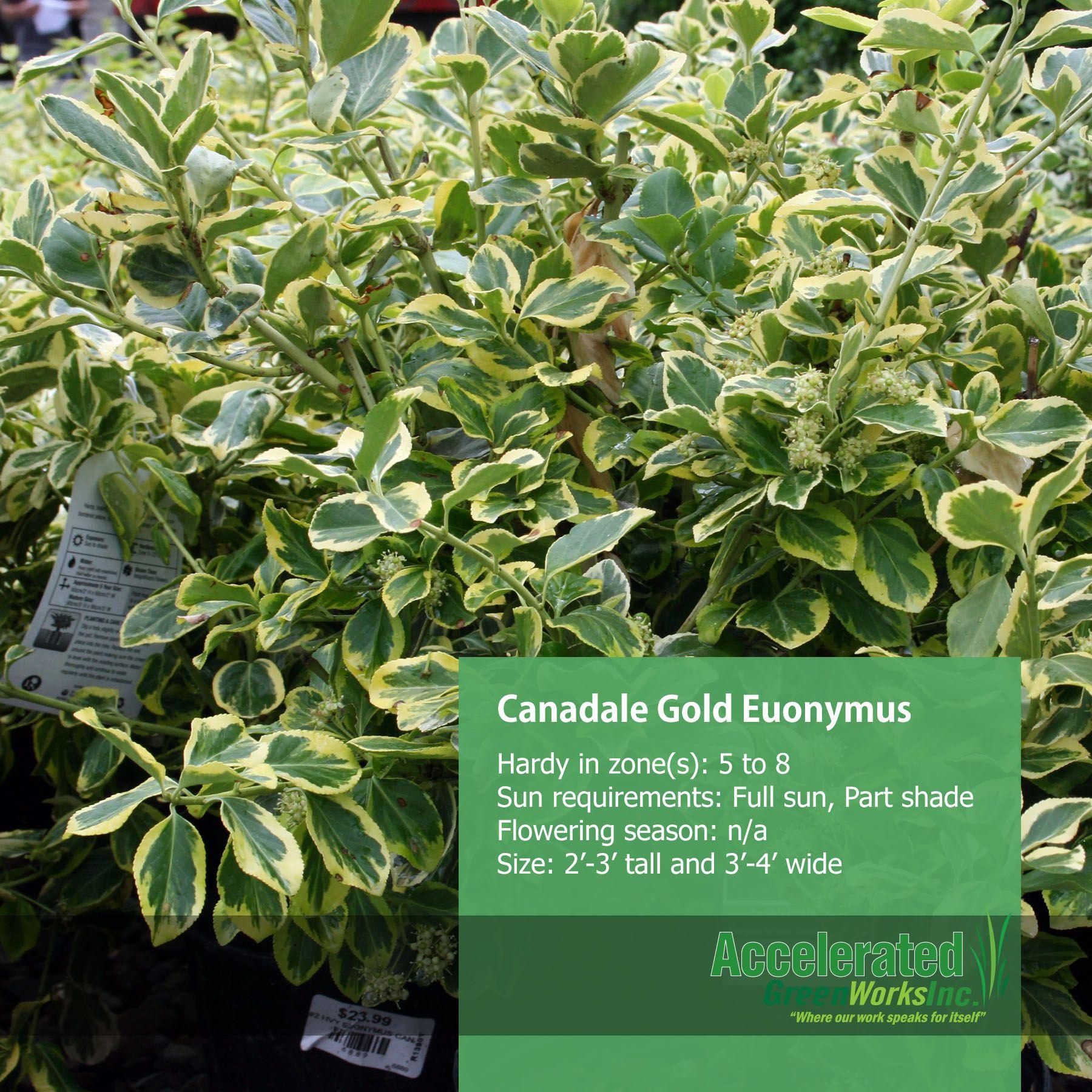 Canadale Gold Euonymus Shrubs Pinterest Outdoor ideas Shrub
