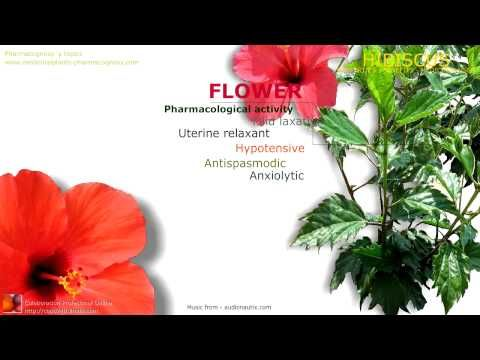 Hibiscus Benefits Health Benefits Attributed To The Hibiscus Flowers Hibiscus Scientific Name Identification Content And Ac Hibiscus Plant Hibiscus Plants