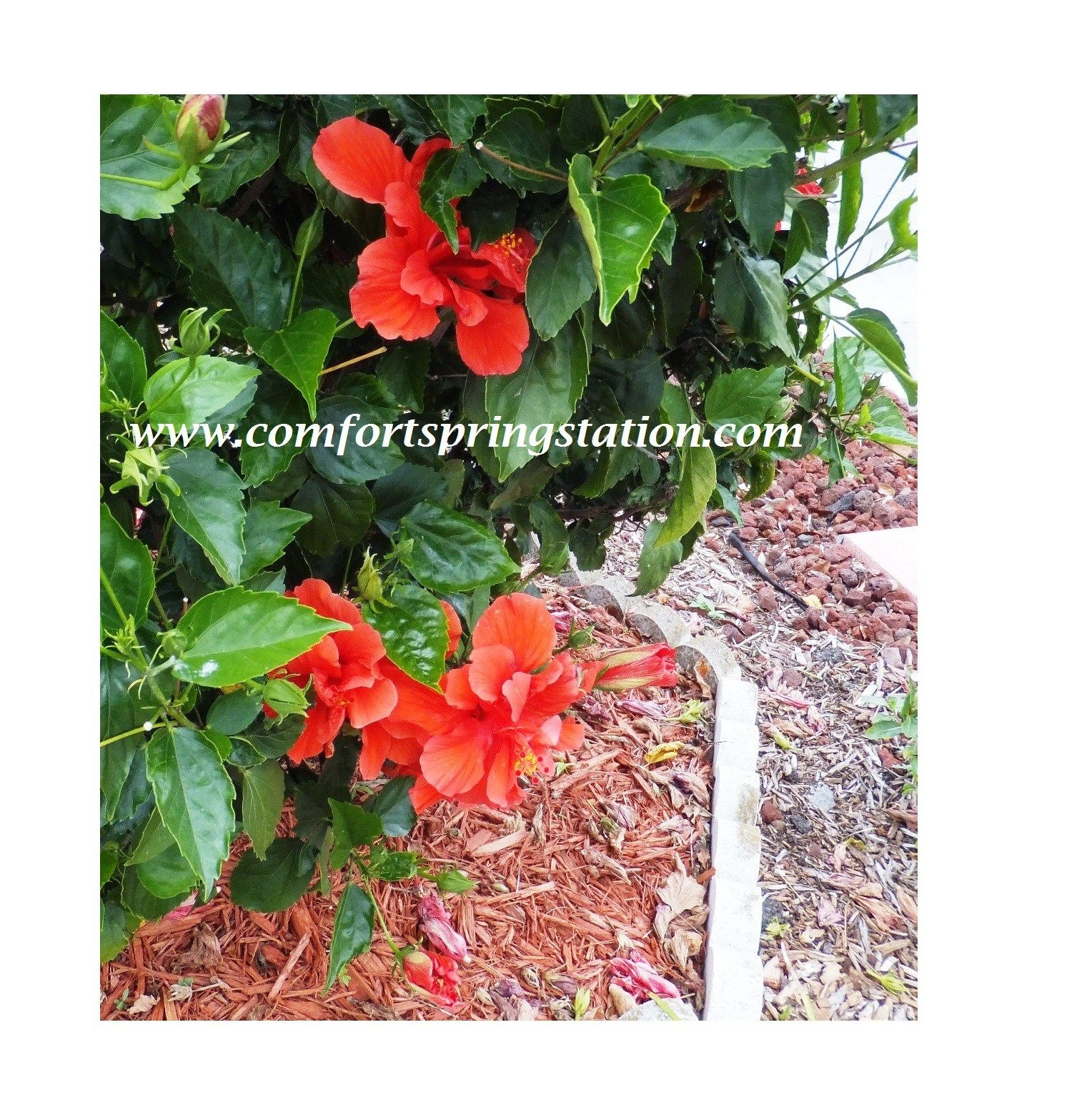 Red hibiscus bush garden garden landscape landscaping hibiscus one of the main features of my front yard is the red hibiscus bush on a berm behind the mailbox that is the lowest point in the yard and the hibiscus izmirmasajfo Choice Image
