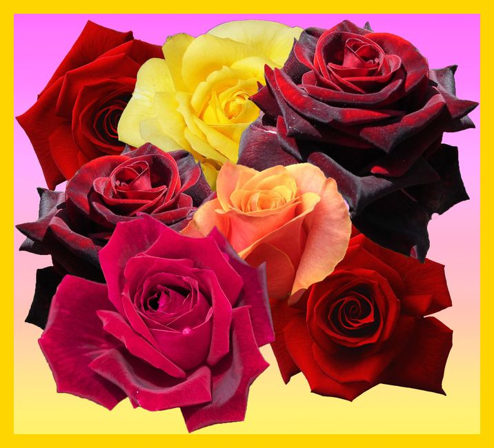 Rozy Samye Krasivye Cvety Na Zemle Flowers Rose Image Editor