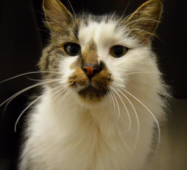 Adopt Smudge-OUTDOOR CAT on | Angora cats, Siberian cats ...