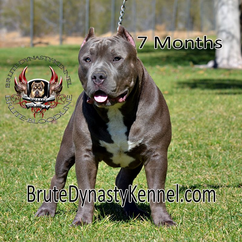 Tri Color Xl Bully Pitbulls Pocket Pitbull Puppies For Sale With A Kennel In New York New Jersey Florida Shipping To Colorado Texas Il Pocket Pitbull Pitbull Puppies For Sale Pitbulls