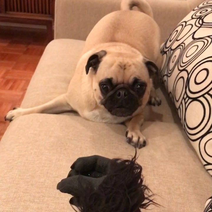 1 204 Likes 45 Comments Pixiebelle Pixiebellepug On Instagram When The Hairy Hand Of Monday Is Coming To Grab Pugs Instagram Charlie Rose
