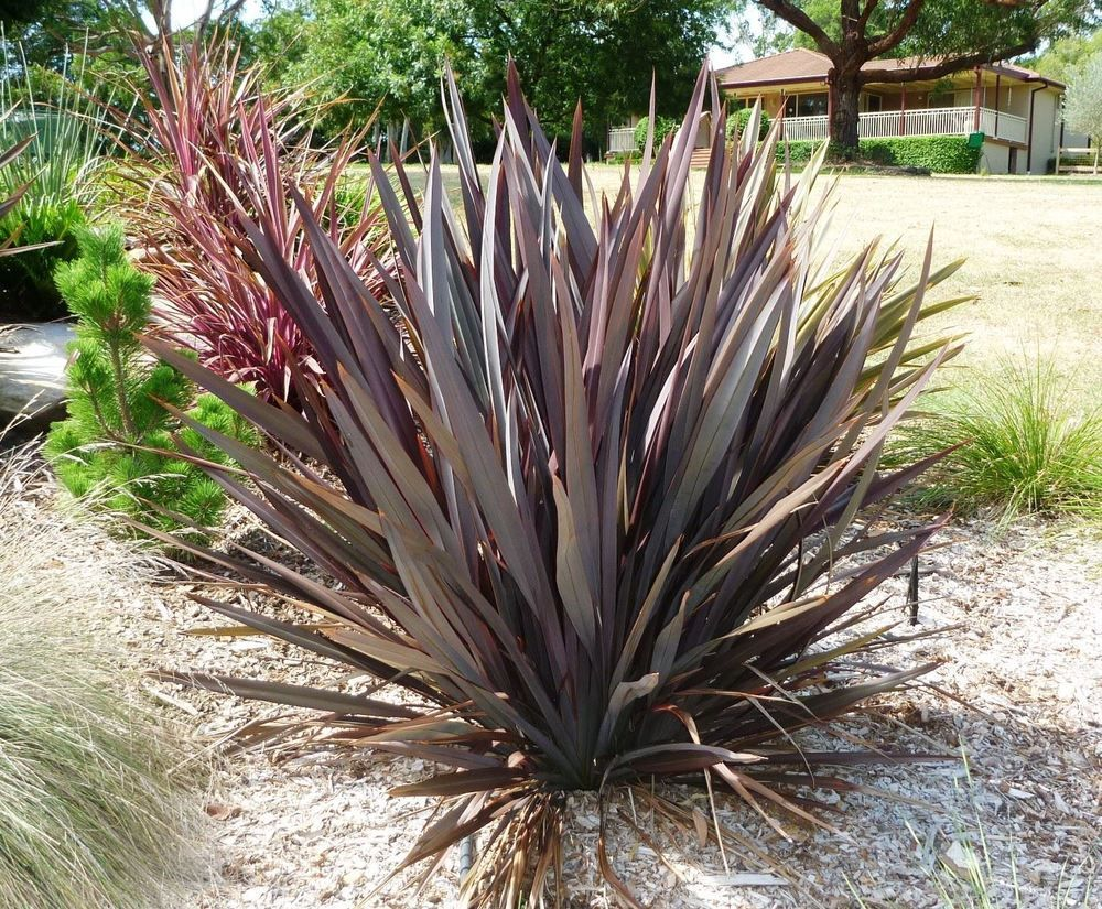 Phormium Tenax Purpureum A Great Plant And Especially If You Are Looking To Create That Tropi Ornamental Grasses Desert Landscaping Drought Tolerant Landscape