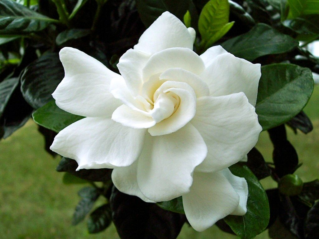 8 flowers to grow in the cooler months gardenias gardenia bush