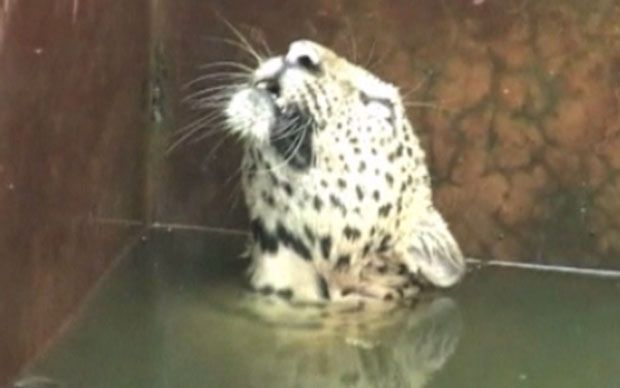 Drowning leopard rescued from reservoir in India  A leopard trapped in a water reservoir tank in eastern India escapes to safety by climbing up a net thrown in by forest rangers. See VIDEO