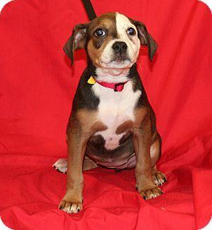 Umatilla Fl Doberman Pinscher Boxer Mix Meet Rilla A Puppy For Adoption Http Www Adoptapet Com Pet 16 Doberman Mix Doberman Breeders Doberman