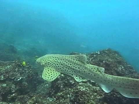 Swimming Leopard Shark! Scuba Diving at the Phi Phi Islands Marine National Park