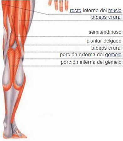 Sistema muscular | Músculos de la pierna | Vista posterior ...
