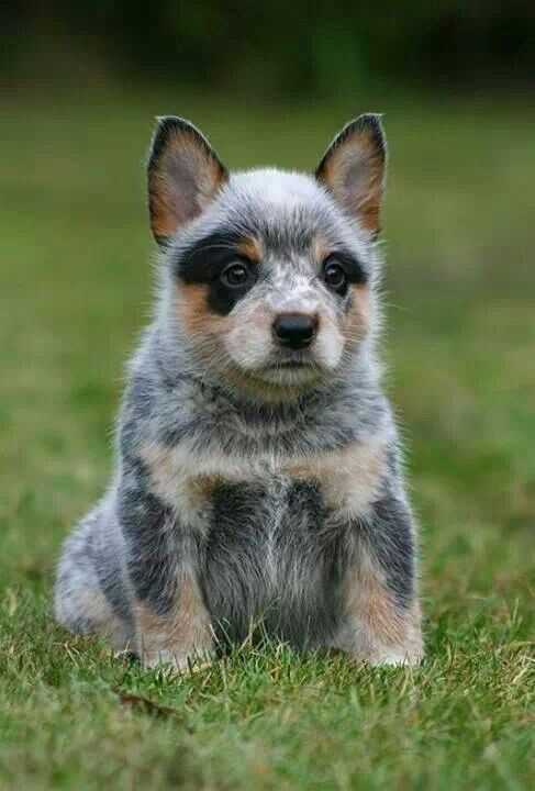 There Is Nothing Like A Blue Heeler Puppy They Are So Warm And Cuddly And Not To Mention Lovable They All Have The Same Musky Puppies Animals Heeler Puppies