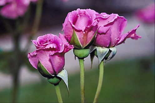 Quotations About Roses Pink Rose Pictures Beautiful Pink Flowers Rose