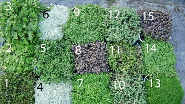 13 of the best New Zealand native ground cover plants Ground