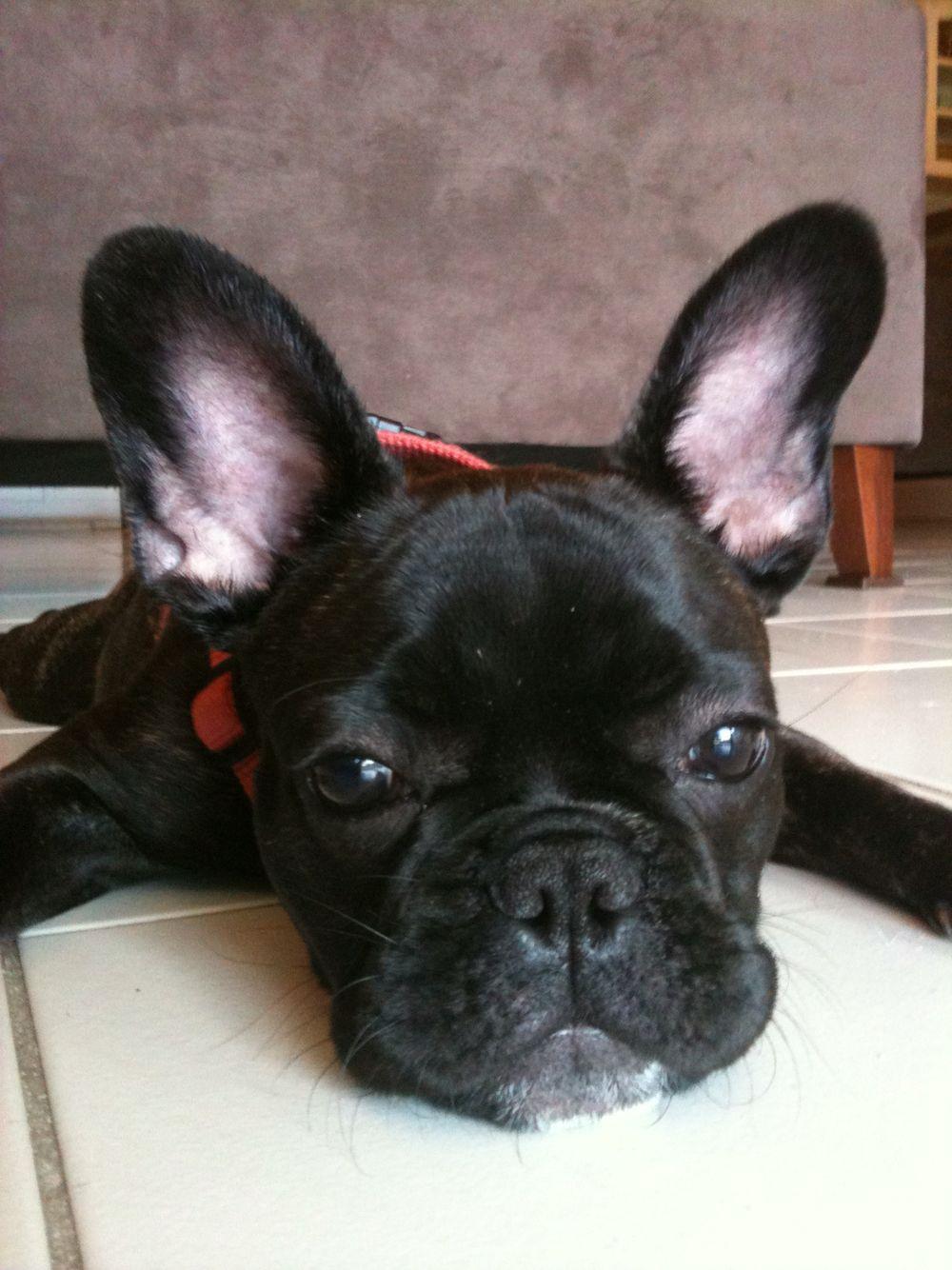 French Bulldog Puppy Cute Animals Cutest Dog Ever Bulldog