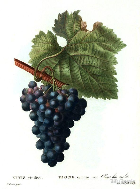 Grape Framed Print By Billybernie Grapes Framed Art Prints Botanical Prints