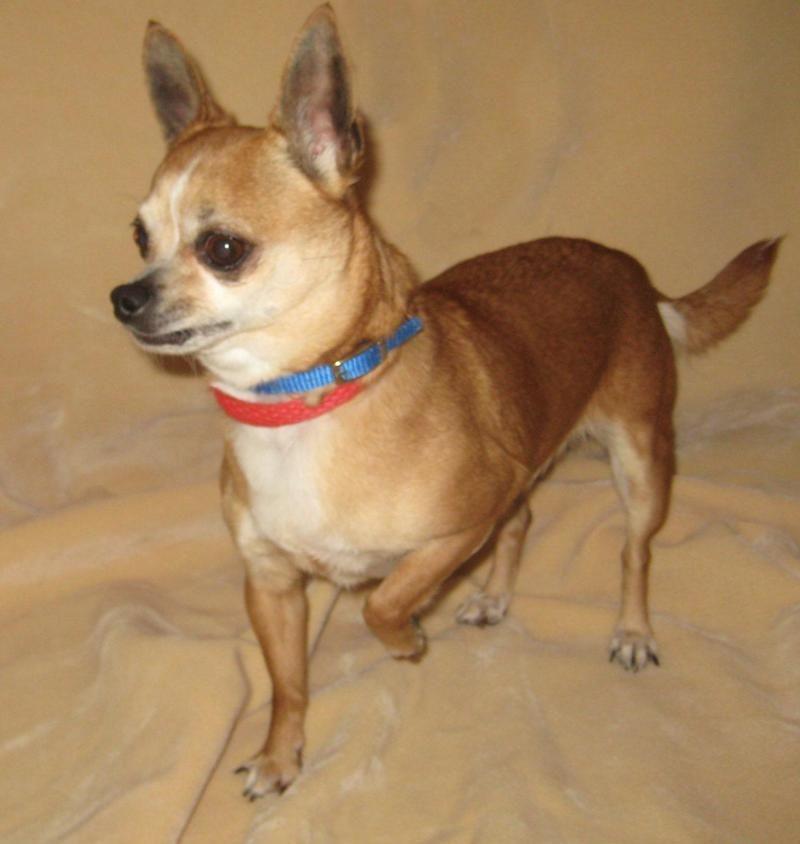 Adopt Elsa On Chihuahua Dogs Chihuahua Chihuahua Mix